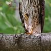 Hawks :
