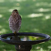 Coopers Bird Bath  I just happened to look out the window yesterday (101710) and low and behold this Coopers Hawk was in the bird bath on the patio. Amazes me how they almost always tuck one leg up and balance on the other. It stayed around on the bath, for about 30 minutes, looking at all the birds and taking an occasional drink and finally a dip in the water. I was shooting through a dirty double pane window {again).  Best viewed in 2X and 3X.