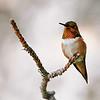 Hummingbirds :